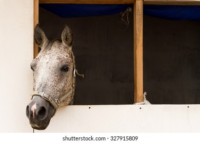 Horse in a horsebox. Grey stallion neb in a loose box window, with a copy-space