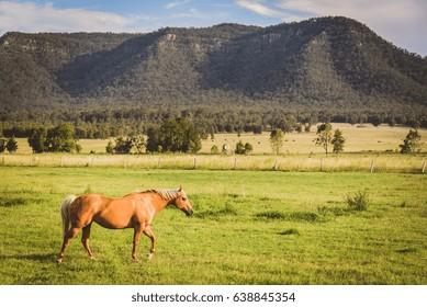 Horse ina field in hunter valley, Australia