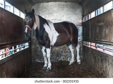 Horse inside of  horse box trailer