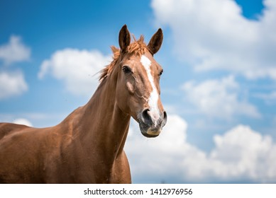 A horse with interest and widespread nostrils and ears pointing forward. I is looking away with light blue sky and white clouds in the background.