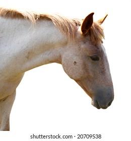 Horse isolated on white.