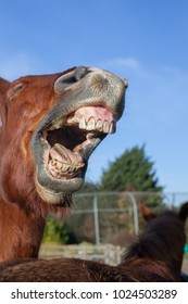Horse laughing. Funny animal meme image of a horse neighing. Close-up of horses teeth and mouth as it lets out a loud neigh. Blue sky background copy-space.