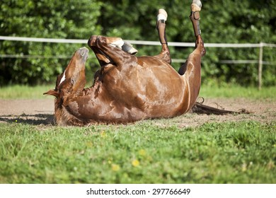 Horse lay on back and having fun to roll in sand