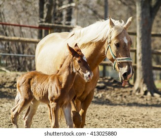 horse and little red foal running on the sand in the paddock on a background of green trees