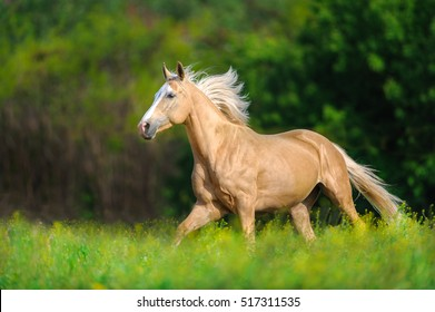 Horse with long blond mane run on spring field