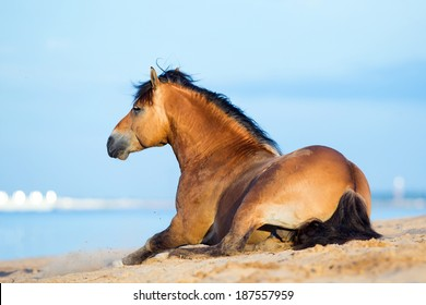 Horse lying on the sandy beach at the sea