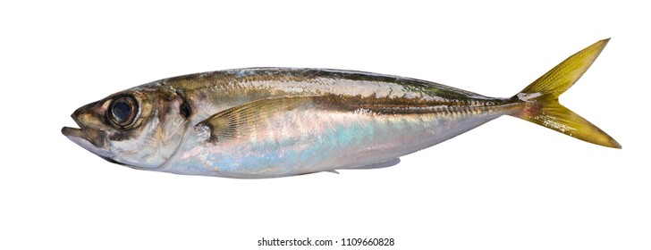Horse mackerel isolated on white background a design element