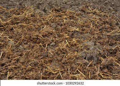 Horse manure with straw bedding spread onto soil in autumn, or the fall, to add organic compost material and fertility to a vegetable garden.