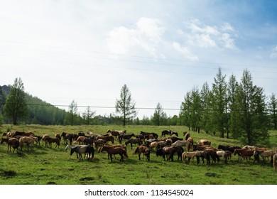 Horse Mongolian pasture farm