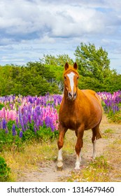 Horse on the colorful and bright blooming lupines field in Patagonia, Argentina, South America
