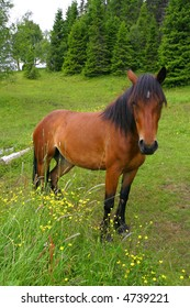 Horse on a grass field next to a pine forest