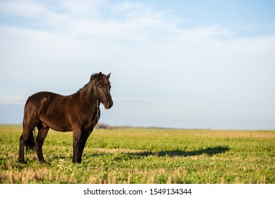 Horse on green pasture with green grass against blue sky with clouds. Black horse on leash