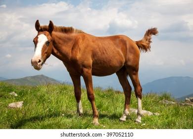 Horse on mountain meadow