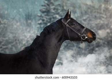 Horse on nature. Black horse portrait in winter
