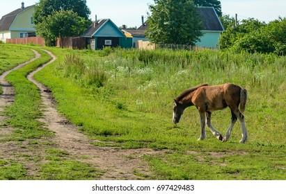 Horse on open pasture. Leningrad oblast.