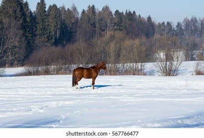 Horse  on the snow