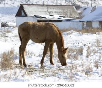 horse on snow eats food