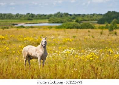 A horse on summer field