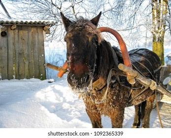 Horse outside on a frosty day. Horse in hoarfrost. Reliable transport to one horsepower. Frost, temperature minus 35 C. Siberia.