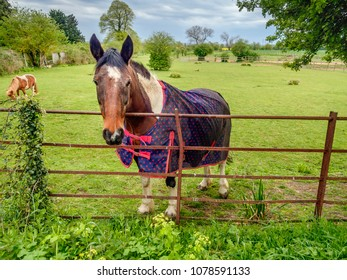 horse in a paddock in countryside looking over a fence, a shetland pony can be seen in the back ground. it is raining and he has a coat on