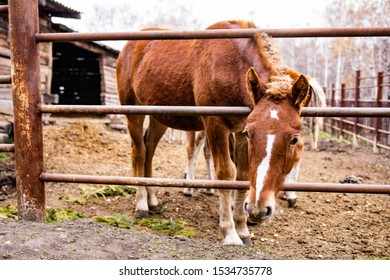 A horse in the paddock stands with its head stuck between the bars of the fence