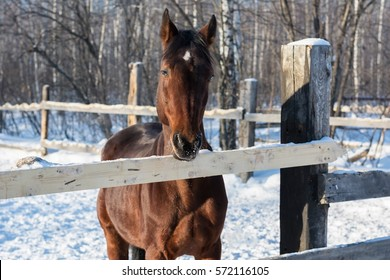 horse in the paddock in winter. frost on the horse's nose