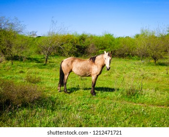 Horse in the pampa biome in Uruguaiana, Brazil