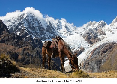 A horse pauses for a snack in front of the snowy peaks of the Andes mountains.