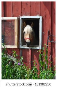 A horse peers out of its stall in a weathered barn on a late June morning with green plants and flowers growing up the side of the barn.