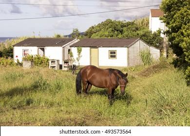 horse at Pico island