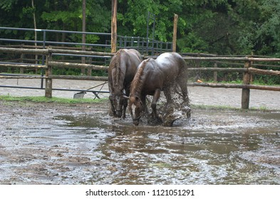 Horse playing in mud