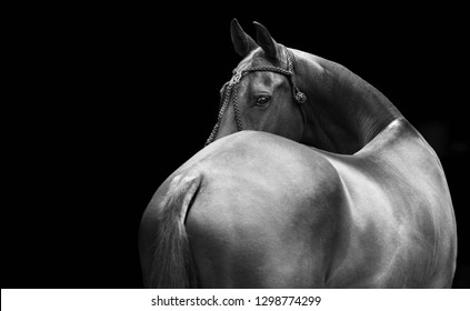 Horse in polo halter looks backwards isolated on black background. Horizontal, from the back, black and white.