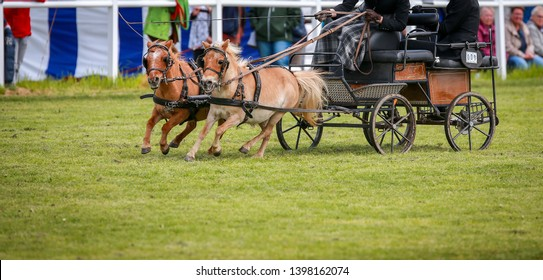 Horse ponies (coach horses) hooked in front of the coach in a driving competition.