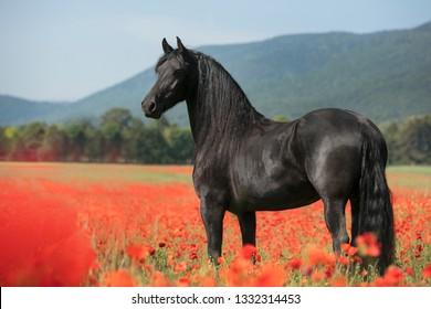 Horse Poppy Field