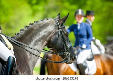 horse portrait in dressage bridle ready before the competition in spring sunshine day