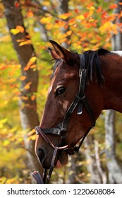 Horse portrait on nature in the autumn forest