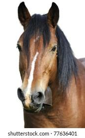 Horse portrait in white background