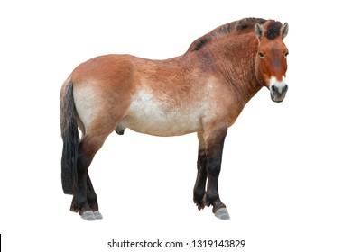 horse ( przewalski ) isolated on a white background