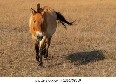 Horse Przewalski's, animal in steppe, Askaniya-Nova, Ukraine