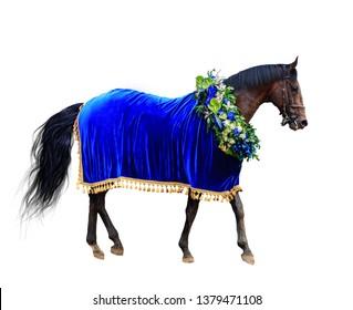 horse racing, winner horse in wreath and velvet Cape blue, isolated on white background