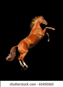 horse rears isolated