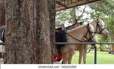 horse for rent in nusantara flower garden in cisarua, west java. indonesia. photo taken in june 2019