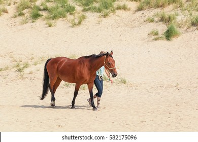 Horse with rider on the North Sea Texel beach