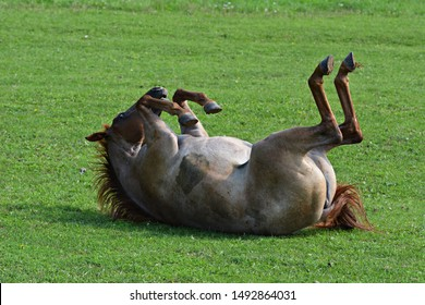 A horse is rolling on a meadow