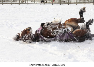 Horse rolling in snow enjoying making a snow angel