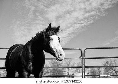 Horse in round pen for groundwork in black and white.