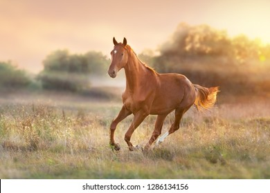 Horse run at sunset light with fog in  meadow