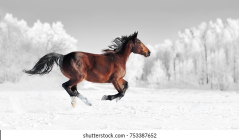 Horse runs gallop on the winter field. Black and white photography with color horse