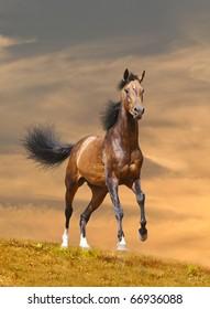 horse runs in sunset
