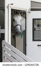 Horse Schimmel, stands in a horsebox and looks out of the side door.